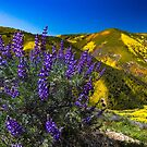 Grape Soda Lupine on The Carrizo Plain Spring 2019 by photosbyflood