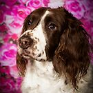 37 Springer Spaniel (53) Dusty by Peggy Colclough