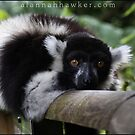 Ring Tailed Lemur by Alannah Hawker
