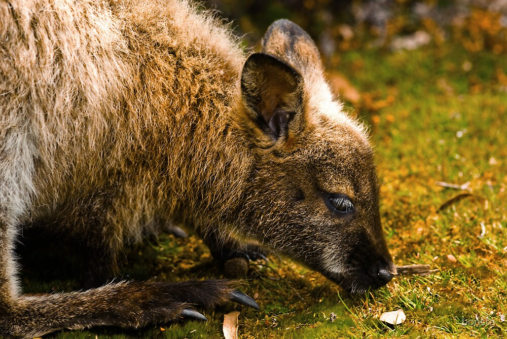 Bennetts Wallaby by bonsta