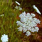 """Queen Anne's Lace"" by franticflagwave"