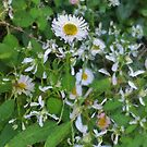 White daisies on green by Murray Swift