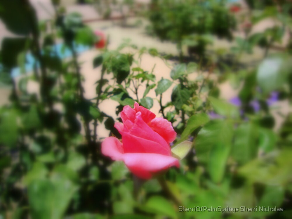 THIS IS NOT JUST A ROSE..IT IS MY GARDEN ROSE LOL by SherriOfPalmSprings Sherri Nicholas-