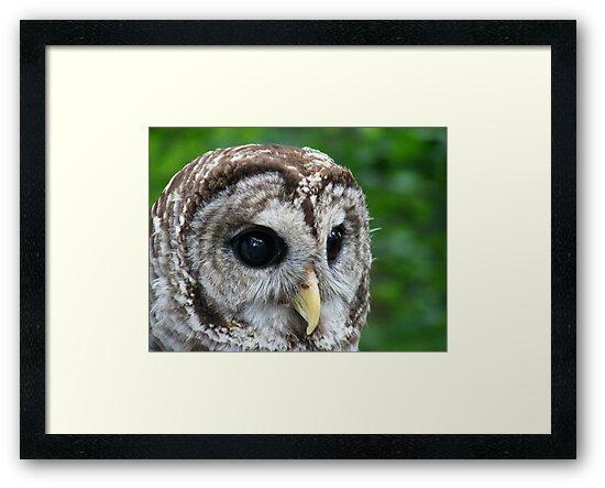 Barred Owl by elasita