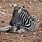 Monarto Zebra by Sherrill Meredith