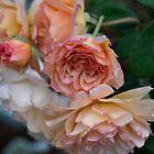 "Variable Farben der Rose ""Climbing"" Buff Beauty von imaginethis"