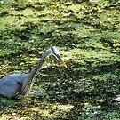 Heron Fishing by AVNERD