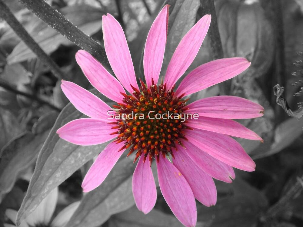 Pink Dog Daisy Wildflower by Sandra Cockayne
