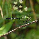 E. Pondhawk Female 136 by Brenda Loveless
