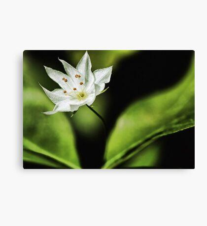 White Starflower at Sunset -  Canvas Print