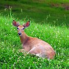 Bambi's Bro in Bed of Clover by Jeanne Sheridan