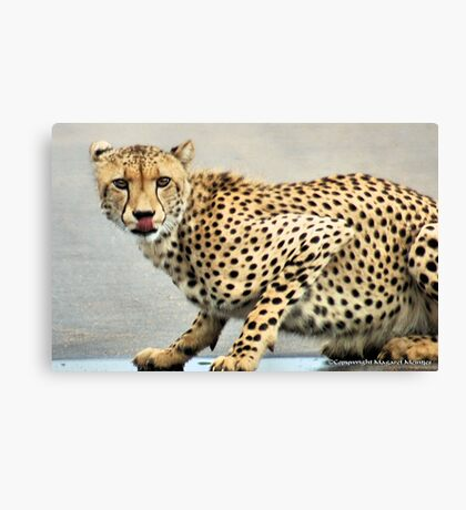 UP CLOSE.. THE CHEETAH - Acinonyx jabatus - Jagluiperd Canvas Print