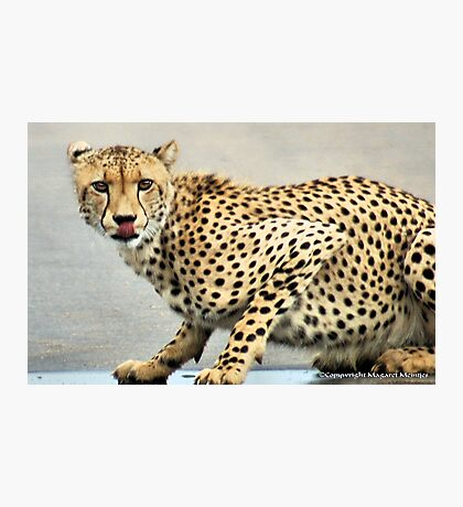 UP CLOSE.. THE CHEETAH - Acinonyx jabatus - Jagluiperd Photographic Print