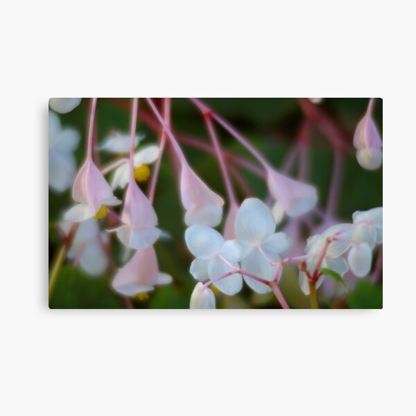 Begonia Dance Canvas Print