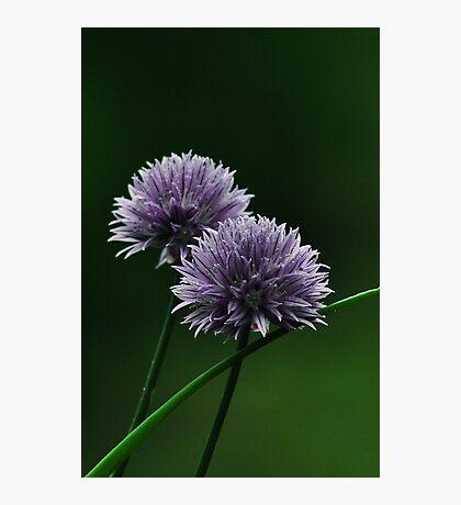 Onion Flower Photographic Print