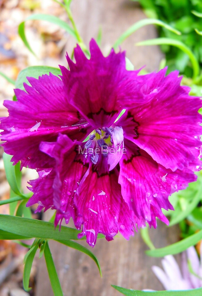 Pink Carnation....Imperfect Beauty by MaeBelle