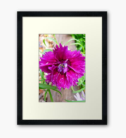 Pink Carnation....Imperfect Beauty Framed Print