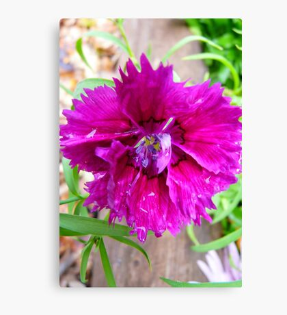 Pink Carnation....Imperfect Beauty Canvas Print