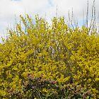 Garden Forsythia by lezvee