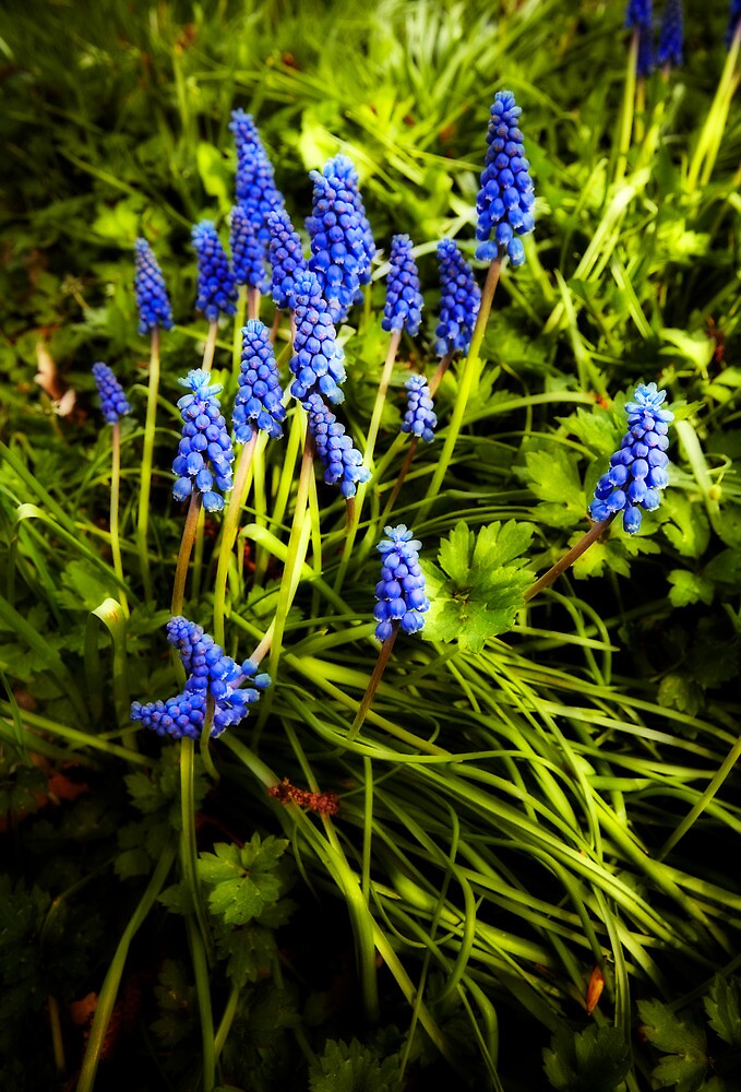 grape hyacinth by Bill vander Sluys
