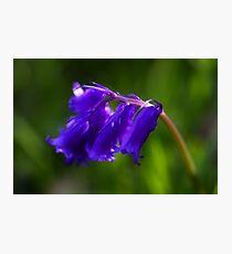 Bluebells Photographic Print