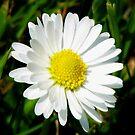 Laughing White Daisy  von BlueMoonRose