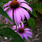 """Purple Cone Flower"" by franticflagwave"