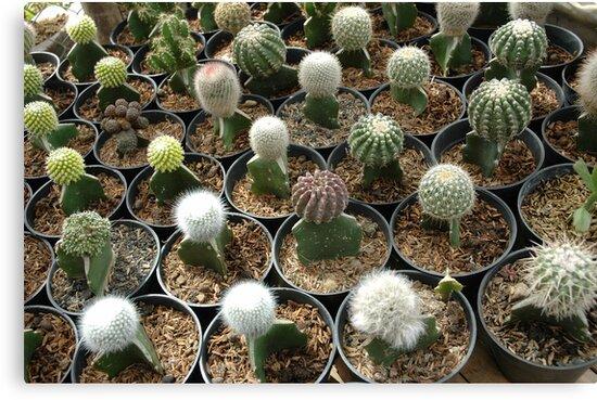 cactus by bayu harsa
