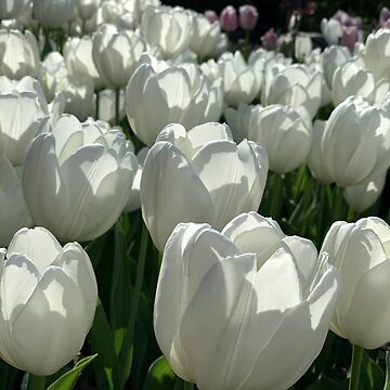 Spring - White Tulips by agnessa38