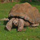 Riesenschildkröte von lezvee