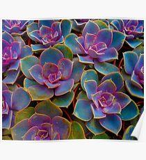 Purple Blue Green Succulent Cactus Plant Poster