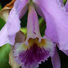 Montreal Orchid by Deborah  Benoit