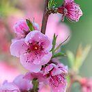 peach flower in bloom on tree von spetenfia