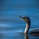 Kormoran für einen Morgen schwimmen von TJ Baccari Photography