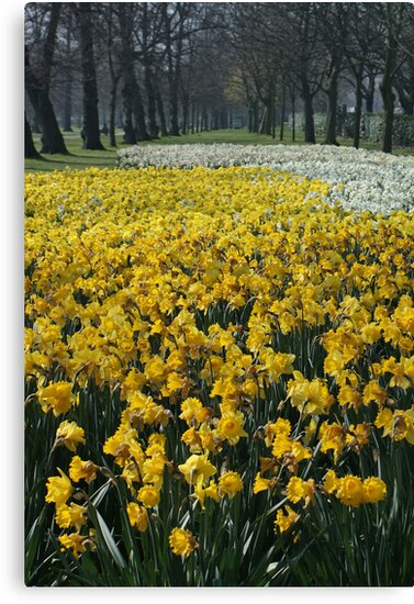 Daffodils at Lancaster Gate Hyde Park by Timothy Adams