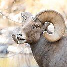 Bighorn Sheep doing the flehmen response by Eivor Kuchta