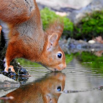 Red Squirrel Drinking by rob3003