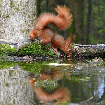 Red Squirrel Reflections by rob3003
