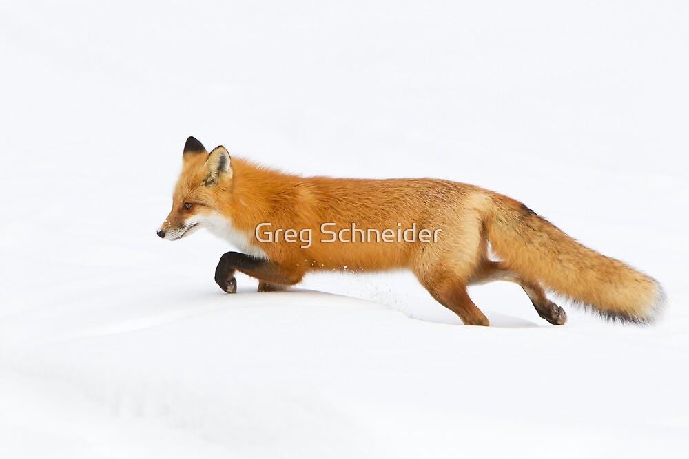 Red Fox hunting in snow by Greg Schneider