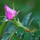 Wild Rose Bud by Rick Stockwell