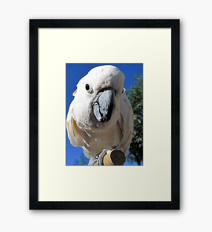 Daisy ~ Moluccan/Salmon-crested Cockatoo Framed Print