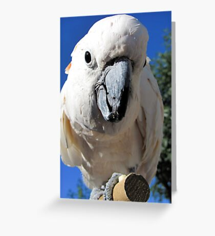 Daisy ~ Moluccan/Salmon-crested Cockatoo Greeting Card