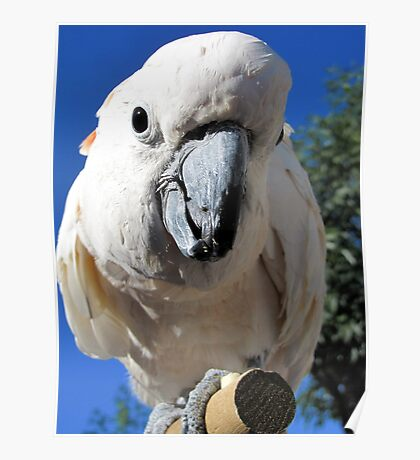 Daisy ~ Moluccan/Salmon-crested Cockatoo Poster