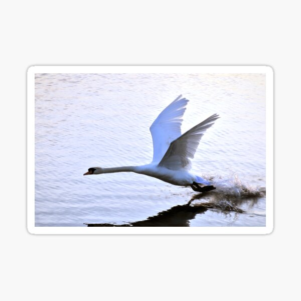 Swan comes to rest on the water Sticker
