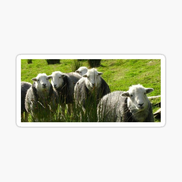 Still More Herdwicks ~ Leac Na Ban, Argyll, Scotland Sticker