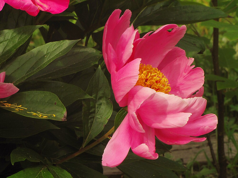 A Peony By Any Name by Pamela Phelps