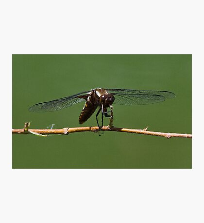 Zootz the Dragonfly tootin' his horn Photographic Print