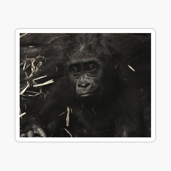 West Lowland Gorilla Baby Sticker
