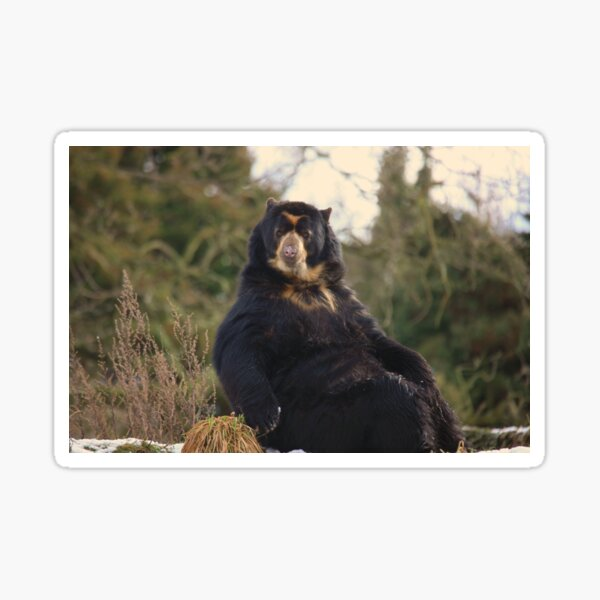 Spectacled Bear Sticker