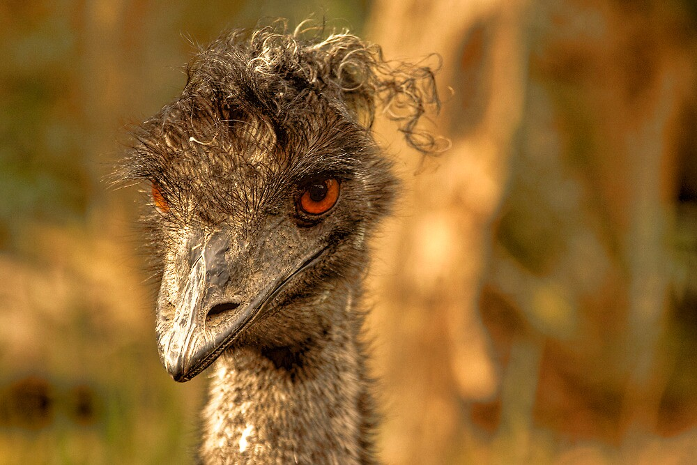Old man emu by Lynden
